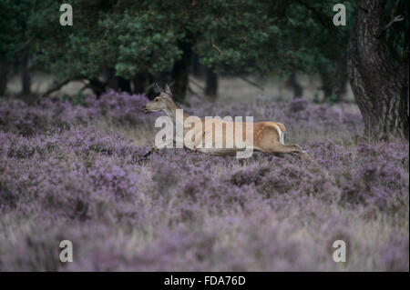 Running and jumping red deer doe in blossoming purple heather - Stock Photo