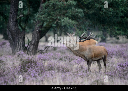 Red deer stag with large antlers, in rutting season,  impressive behaviour. Next to a big pine tree in a field with - Stock Photo