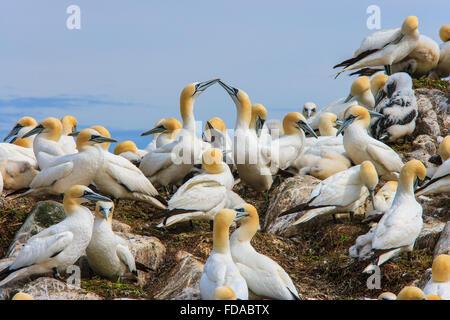 northern gannet colony Morus bassanus seabirds uk - Stock Photo