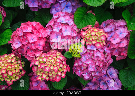 colorful color hydrangea hortensia flower flowers - Stock Photo