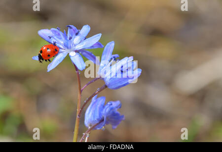 Ladybug sitting on a spring flower in garden - Stock Photo