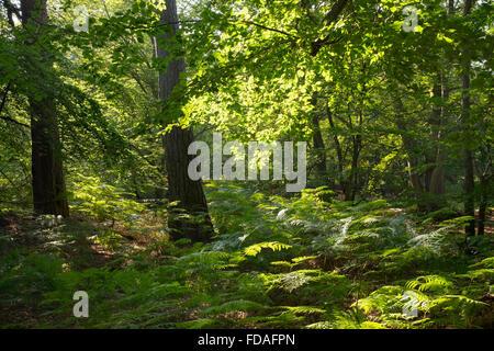 Mixed forest with bracken (Pteridium aquilinum), Darßwald forest, Darß, Fischland-Darß-Zingst, Western Pomerania - Stock Photo