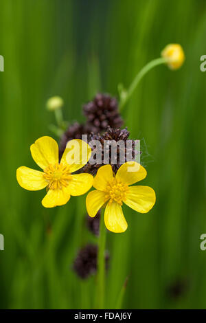 Meadow buttercup / tall buttercup / common buttercup / giant buttercup (Ranunculus acris) in flower - Stock Photo