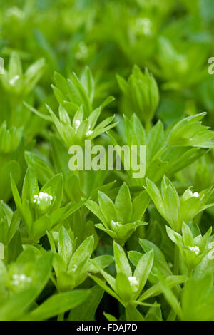 Sweetscented bedstraw / sweet woodruff (Galium odoratum / Asperula odorata) in flower - Stock Photo