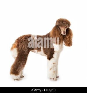 Harlequin poodle (Canis lupus familiaris) portrait against white background - Stock Photo