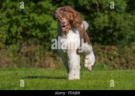 Harlequin poodle (Canis lupus familiaris) running in garden - Stock Photo