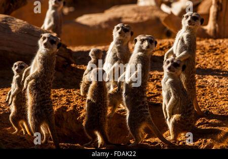Meerkat or suricate (Suricata suricatta).Bioparc.Valencia, Spain. - Stock Photo