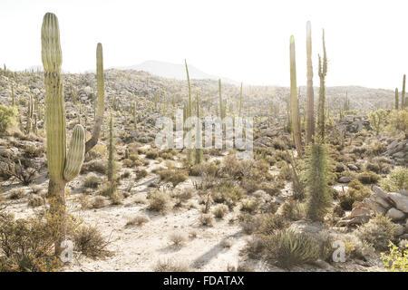 Desert cacti in Baja California, Mexico - Stock Photo