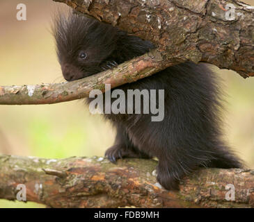 baby porcupine standing on a pine branch gnawing on a twig - Stock Photo