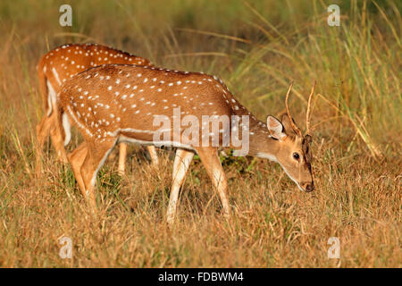 A young male spotted deer or chital (Axis axis), Kanha National Park, India - Stock Photo