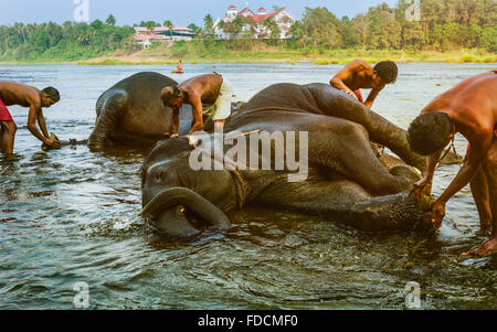 Trainers bathe young elephants in the Periyar river as part of training regimen at dawn in south India. - Stock Photo