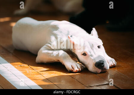 The Dogo Argentino also known as the Argentine Mastiff is a large, white, muscular dog that was developed in Argentina - Stock Photo