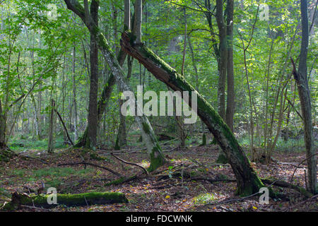 Old bent hornbeam trees in autumnal landscape of primeval deciduous stand of Bialowieza Forest,Bialowieza Forest,Poland,Europe - Stock Photo