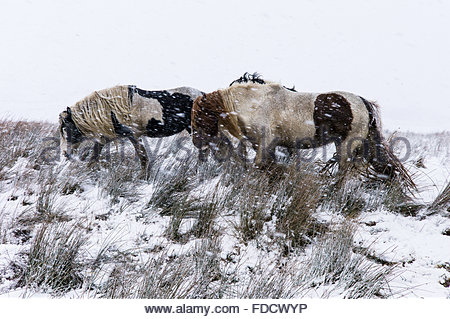 Roberton, Hawick, Scotland, UK. 30th January 2016. Horses and ponies graze amongst deep snow in driving gale force - Stock Photo