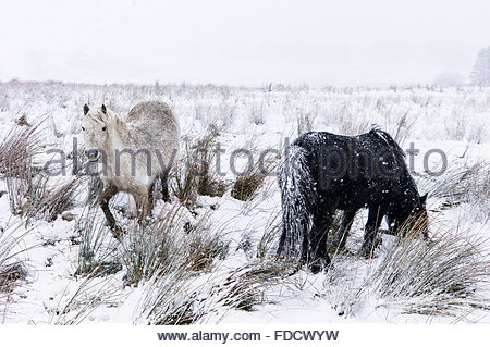 Roberton, Hawick, Scotland, UK. 30th January 2016. Ponies graze amongst deep snow in driving gale force winds and - Stock Photo