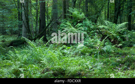 Broken tree stump moss covered and ferns layer above them in springtime,Bialowieza Forest,Poland,Europe - Stock Photo