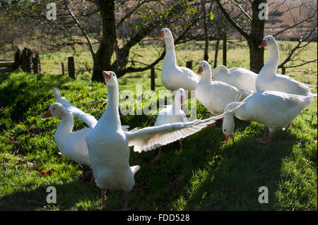 Geese (Anser anser domestica) Devon England Europe - Stock Photo