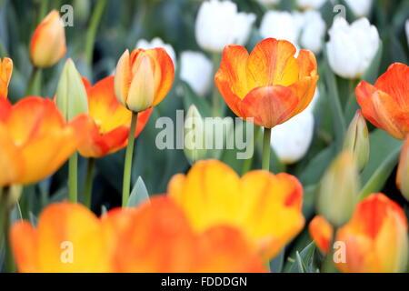 Orange tulips close-up. - Stock Photo