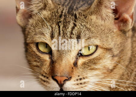 Zooming on the face of a cat with fierce eyes - Stock Photo