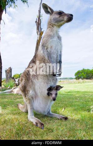 Forester kangaroo and joey in Tasmania, Australia - Stock Photo