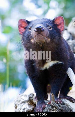 Portrait of a Tasmanian Devil. Image taken in Tasmania Australia - Stock Photo