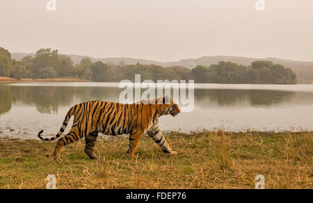 Wide angled shot of a wild tiger walking along the shores of the Raj Bagh lake on a foggy winter morning in Ranthambhore tiger r