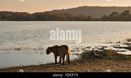 Wide angled shot of a wild tiger walking along the shores of the Raj Bagh lake on a clear winter morning in Ranthambhore tiger r