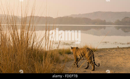 Wide angled shot of a wild tiger walking along the shores of the Raj Bagh lake on a misty winter morning in Ranthambhore tiger r