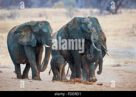 Frontal view of a four mud-splattered elephants walking with the cow sniffing the air - Stock Photo