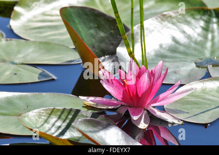 Nymphaeaceae Water Lily: Pink water lily with reflection and leaves in water. - Stock Photo