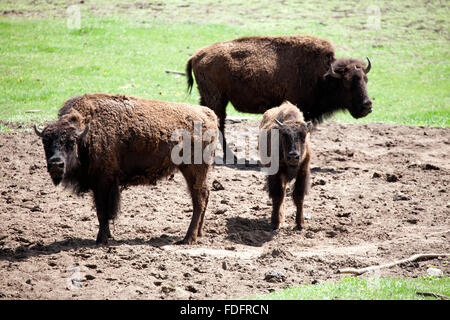Adult buffalos protecting a young calf at a commercial ranch. Pierz Minnesota MN USA - Stock Photo