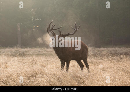 Winter breath of a Red Stag - Stock Photo
