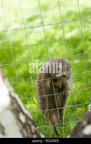 Hedgehog behind the fence- looking at camera - Stock Photo