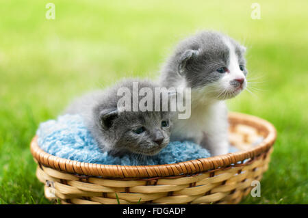 Two gray and white kittens in a basket - Stock Photo