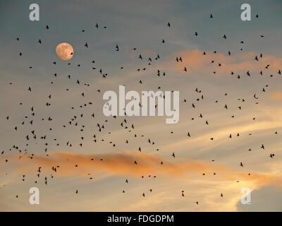 A flock of bramblings flying during their migration at sunset. Fringilla montifringilla. Migratory birds. Full moon. - Stock Photo