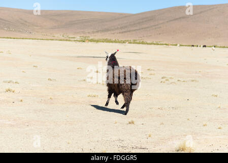 One single llama on the Andean highland in Bolivia. Adult animal galloping in desert land. Side view. - Stock Photo
