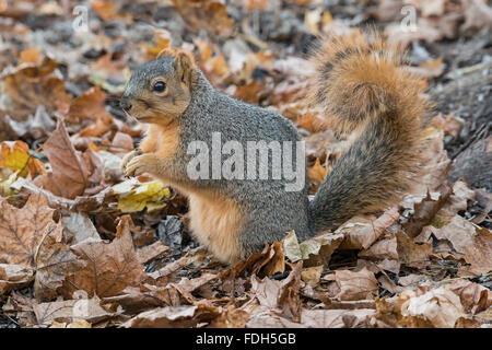 Eastern Fox Squirrel (Sciurus niger) on forest floor, eating nuts, acorns, Autumn, E North America - Stock Photo