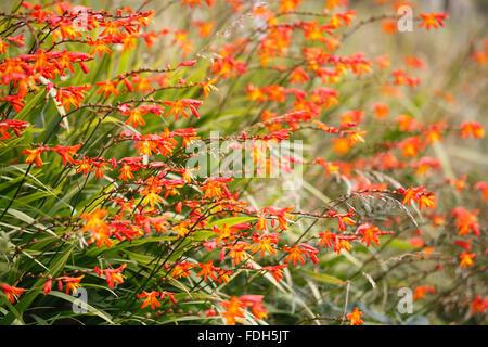 crocosmia masoniorum, orange flowers at the roadside - Stock Photo