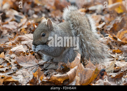 Eastern Gray Squirrel (Sciurus carolinensis) on forest floor, eating nuts, Autumn, E North America - Stock Photo