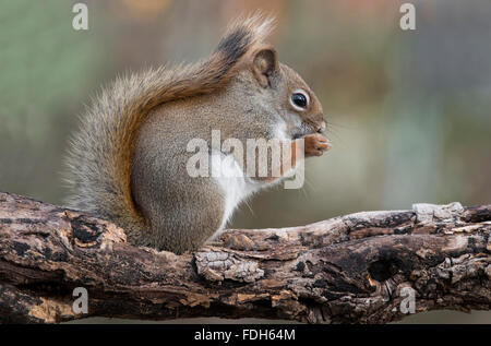 Eastern Red Squirrel eating seeds (Tamiasciurus or Sciurus hudsonicus) E North America - Stock Photo