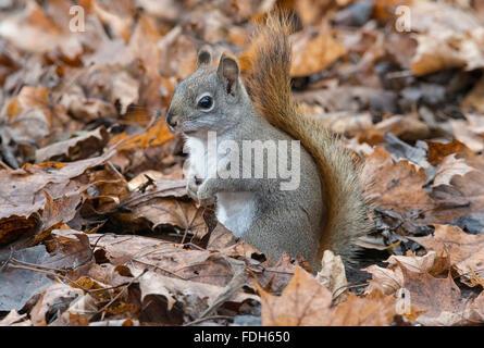 Eastern Red Squirrel hunting for food on forest floor (Tamiasciurus or Sciurus hudsonicus) E North America - Stock Photo