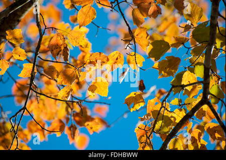 Cades Cove, isolated valley, Tennessee, The Great Smoky Mountains National Park, USA, fall,leaves, yellow tree branches - Stock Photo