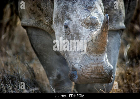 Rhinoceros (Rhinocerotidae) at Hlane Royal Game Preserve, Swaziland, Africa. - Stock Photo