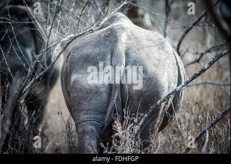 Back Side of a Rhinoceros (Rhinocerotidae) at Hlane Royal Game Preserve, Swaziland, Africa. - Stock Photo