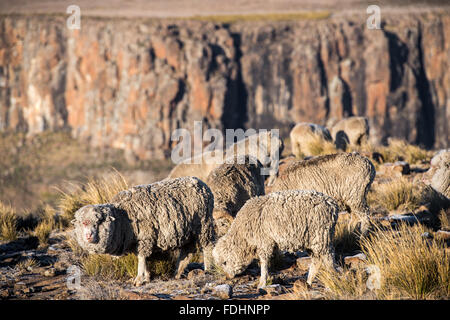 Sheep grazing on a mountain top in Lesotho, Africa - Stock Photo