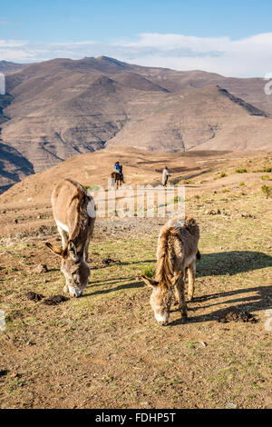 Donkeys grazing and a person on horseback with a shepherd in the mountains of Lesotho, Africa - Stock Photo