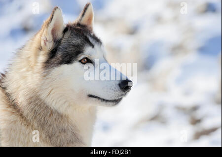 Siberian husky dog. Winter portrait - Stock Photo