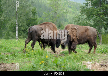 Large male of bison in the forest - Stock Photo