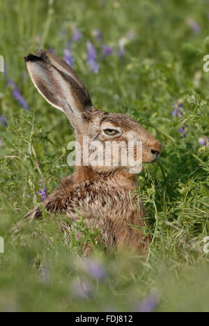 Brown Hare / European Hare / Feldhase ( Lepus europaeus ) sitting in high vegetation, eats from crop weeds, looks - Stock Photo
