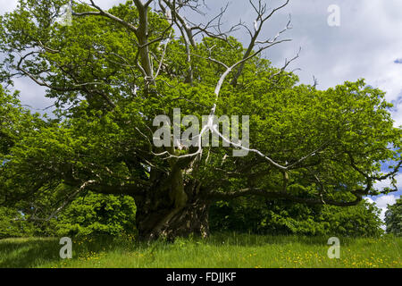 The Quarry Oak, a one thousand year old sessile oak tree, at Croft Castle, Herefordshire. - Stock Photo